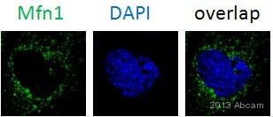 Immunocytochemistry/ Immunofluorescence - Anti-Mitofusin 1 antibody (ab104274)