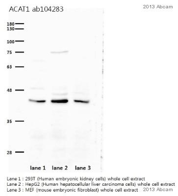 Western blot - Anti-ACAT1 antibody (ab104284)