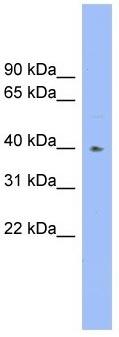 Western blot - Anti-Galactoside 2-alpha-L-fucosyltransferase 1 antibody (ab104311)