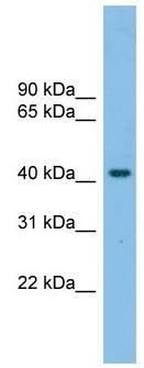Western blot - Anti-GPCR GPR87 antibody (ab104435)