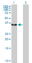 Western blot - Anti-BOULE antibody (ab104491)