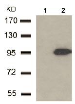 Western blot - Anti-MAGED1 antibody (ab104627)