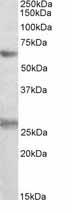 Western blot - Anti-eIF2B4 antibody (ab104941)