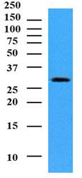 Western blot - Anti-Nmnat1  antibody [AT4A2] (ab105017)
