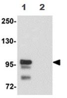 Western blot - Anti-SCUBE2 antibody (ab105378)