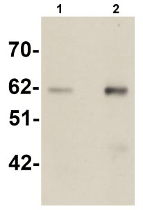 Western blot - Anti-Staufen antibody (ab105398)