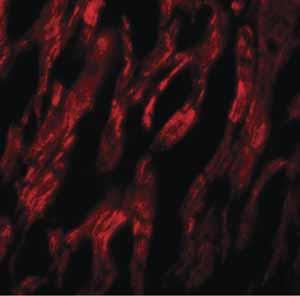 Immunocytochemistry/ Immunofluorescence - Anti-ATG9A antibody (ab105402)
