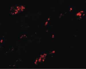 Immunocytochemistry/ Immunofluorescence - Anti-TMEM59 antibody (ab105417)