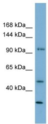 Western blot - Anti-FAM35A antibody (ab105521)