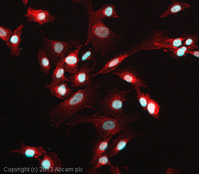 Immunocytochemistry/ Immunofluorescence - Anti-Histone H1.4 antibody (ab105522)