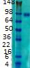 Western blot - Anti-Striatin 4 antibody [S88-64] (ab105572)