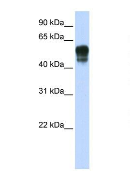 Western blot - Anti-SPNS1 antibody (ab105657)