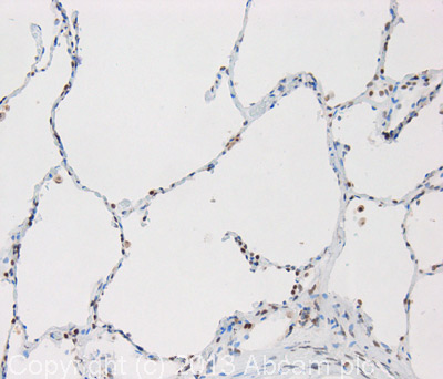 Immunohistochemistry (Formalin/PFA-fixed paraffin-embedded sections) - Anti-LARP7 antibody (ab105682)