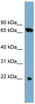 Western blot - Anti-SLC24A4 antibody (ab105715)