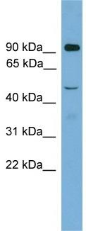 Western blot - Anti-Zfy2 antibody (ab105777)