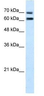 Western blot - Anti-FAM55D antibody (ab105791)