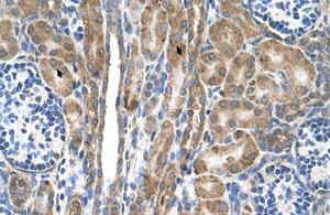 Immunohistochemistry (Formalin/PFA-fixed paraffin-embedded sections) - Anti-FAM55D antibody (ab105791)