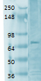 Western blot - Anti-CNG1 antibody [S36-12] (ab105878)