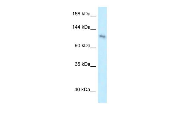 Western blot - Anti-PLEKHA7 antibody (ab106115)