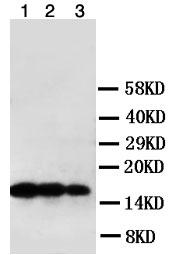 Western blot - Anti-TNF beta antibody (ab106353)