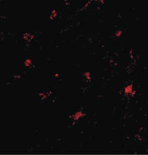 Immunocytochemistry/ Immunofluorescence - Anti-BAIAP3 antibody (ab106357)