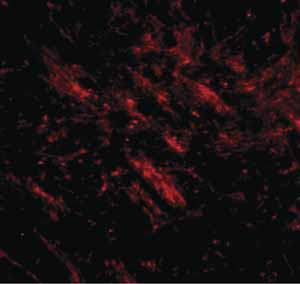 Immunocytochemistry/ Immunofluorescence - Anti-C16orf5 antibody (ab106362)