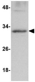 Western blot - Anti-GNPDA2 antibody (ab106363)