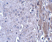 Immunohistochemistry (Formalin/PFA-fixed paraffin-embedded sections) - Anti-Matrilin 4 antibody (ab106379)