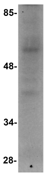 Western blot - Anti-RNF168 antibody (ab106389)