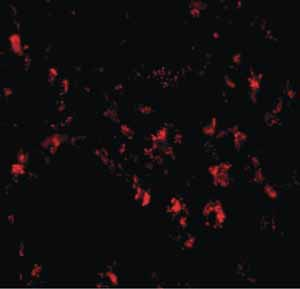 Immunocytochemistry/ Immunofluorescence - Anti-SIGLEC11 antibody (ab106390)