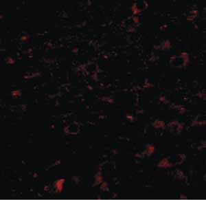 Immunocytochemistry/ Immunofluorescence - Anti-CCDC134 antibody (ab106442)