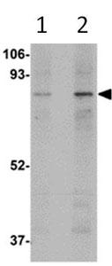 Western blot - Anti-MAK10 antibody (ab106444)