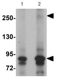 Western blot - Anti-JMJD1C antibody (ab106457)