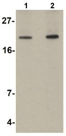 Western blot - Anti-Apc10 antibody (ab106497)