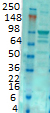 Western blot - Anti-Ionotropic Glutamate receptor 2 antibody [S21-32] (ab106515)