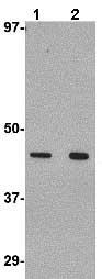 Western blot - Anti-Wnt10a antibody (ab106522)