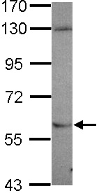 Western blot - Anti-NDOR1 antibody (ab106525)