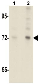 Western blot - Anti-ARHGAP18 antibody (ab106553)