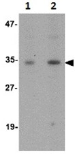 Western blot - Anti-GNPDA1 antibody (ab106563)