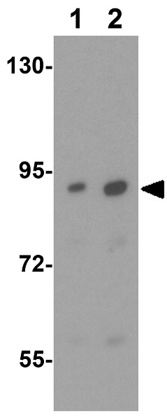 Western blot - Anti-MACC1 antibody (ab106579)