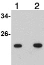 Western blot - Anti-BASC4 antibody (ab106643)