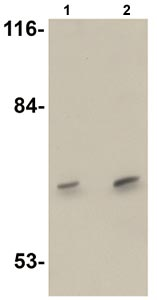 Western blot - DCLK3 antibody (ab106653)