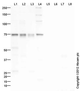 Western blot - Anti-BMAL1 antibody (ab106795)