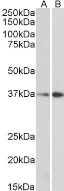 Western blot - Anti-MRG15 antibody (ab106818)