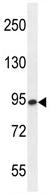 Western blot - Anti-ENGASE antibody (ab107738)