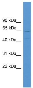Western blot - Anti-TMEM180 antibody (ab108080)