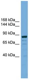 Western blot - Anti-ATG9B antibody (ab108107)