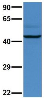 Western blot - Anti-AVPR V2 antibody (ab108145)