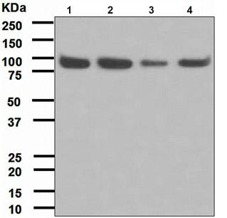 Western blot - Anti-Cip4 antibody [EPR1966(2)] (ab108277)