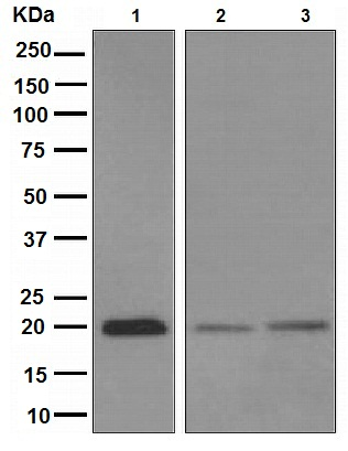 Western blot - Anti-Bid Cleavage Site antibody [EPR9] (ab108293)
